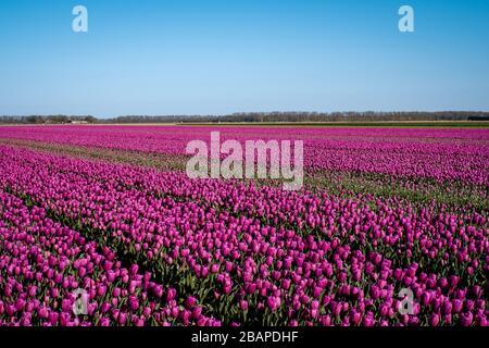 Holländisches Tulpenfeld, Drohnenblick auf das Feld der gelblichen Tulpen Niederlande, glücklicher junger Mann und Frau im Blumenfeld