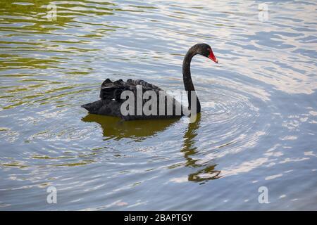 Ein Schöner Schwarzer Schwanz