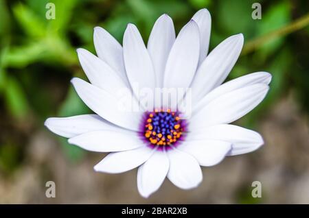 Detail einer Kap-Marguerit-Blume (Dimorphotheca ecklonis) - Stockfoto
