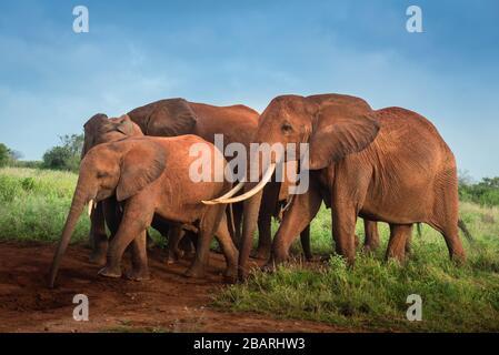 Haufen afrikanischer roter Elefanten in der Savanne, Reise Afrika Kenia Safari-Touren in Tansania, Elefantenfamilie in freier Wildbahn in Uganda Tsavo East, Ambosel - Stockfoto