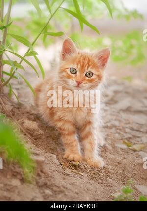 Niedlich langhaarige rote Tabby-Kätzchen, die in einem Garten posieren, die junge flauschige Baby-Katze, die neugierig mit wundervollen farbigen Augen aussieht, Zypern - Stockfoto