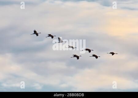 Eine Schar von gemeinen Kränen (Grus Grus) flieht in V-Formation kurz vor Sonnenuntergang durch den blauen Himmel. Västernorrland, Schweden, Europa