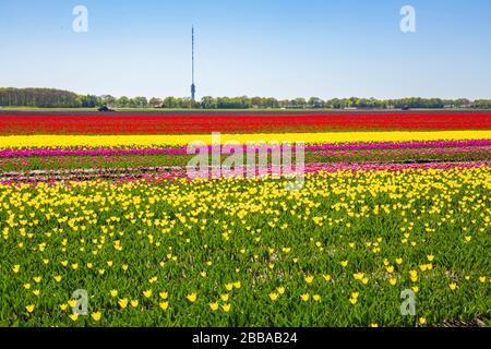 Mehrfarbige holländischen Tulpen Blumen Feld mit einem blauen Himmel im Frühling Saison in Drenthe, Niederlande - Stockfoto