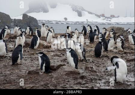 Chinstrap Penguin(Pygoscelis antarcticus), Half Moon Island, Antarktis. - Stockfoto