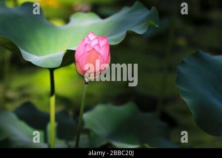 Der lotos blüht im Teich - Stockfoto