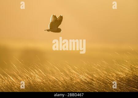 Kurzarmiger Eule (ASIO flammeus), der über eine Wiese fliegt, Wyke Down, Dorset, England - Stockfoto