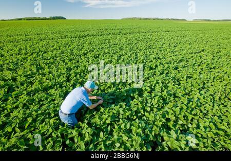 Ein Bauer untersucht Sojapflanzen mit mittlerem Wachstum in einem Feld, das sich bis zum Horizont erstreckt, Tiger Hills, Manitoba, Kanada - Stockfoto