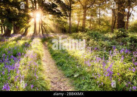 Wundervoller Blauglockenwald mit Sonnenaufgang, der durch die Bäume platzt. Waldpfad und violette Wildpflanzen. Frühlingslandschaft in England - Stockfoto