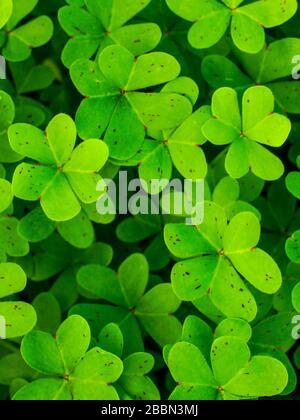 Draufsicht auf grünen Hintergrund mit dreiblättrigen Shamrocks. Vier glückliche Blätter liegen auf dem Feld, ideal für den Hintergrund. - Stockfoto