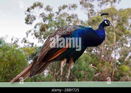 Birds / A Peacock in Halls GAP Zoo, Victoria Australia.Halls GAP Zoo ist der größte regionale Zoo und erstreckt sich über eine Fläche von 53 Acre.IT befindet sich in Th - Stockfoto