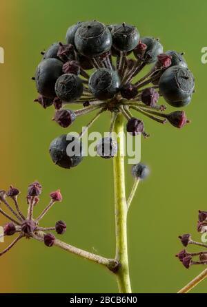 Reife Früchte des gemeinen Efeus, Hedera Helix, im frühen Frühjahr. Stockfoto