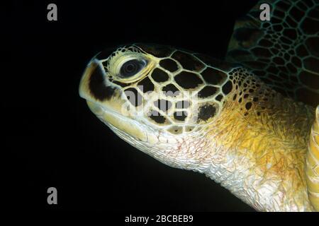 Nahaufnahme einer grünen Schildkröte (Chelonia mydas) mit schwarzem Hintergrund. Dampier Strait, Raja Ampat, Indonesien - Stockfoto