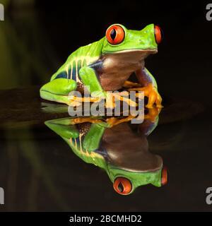 Zentral-/südamerikanischer Rotäugig-Frosch (Agalychnis callidyas) auf einem Stein sitzend in einem stillen Teich mit Spiegelung