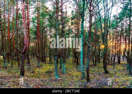 Das sonnige Sonnenlicht scheint im gespenstischen Kiefernwald und berührt zum letzten Mal die Baumspitzen, bevor es weit über den Horizont versinkt
