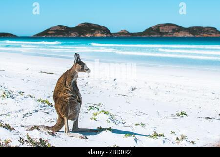 Ein freundliches Känguru an einem makellosen weißen Sandstrand in Esperance, Lucky Bay, westaustralien