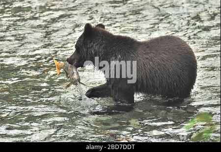 Ein Grizzly-Bär ' Ursus arctos', der einen Laichchum-Lachs in Fish Creek nahe Hyder Alaska fängt - Stockfoto