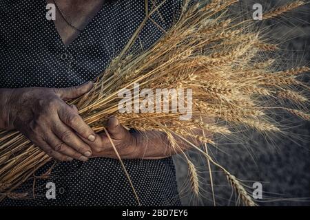 Nahaufnahme Bild mit geknitterten Händen der alten Frau, das zeigt, was Weizenstacheln Ohren gibt, die im ländlichen, grauen Hintergrund isoliert sind. Harve - Stockfoto