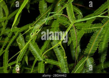 Green Crested Lizard (Bronchocela Cristatella), Familie Agamidids, Kubah-Nationalpark, Kuching, Sarawak, Borneo, Malaysia