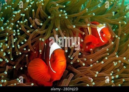 Wirbelsäule-Wange Anemonefishes, Premnas Bieculatus, Raja Ampat, Indonesien - Stockfoto