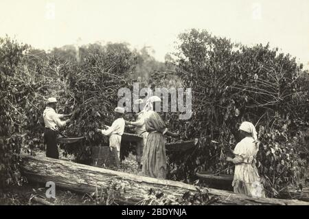 Sklaven, Die Kaffeebohnen Pflücken, Brasilien, 1885 - Stockfoto