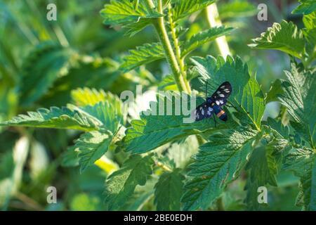 Ein schwarzer Schmetterling sitzt auf einem Brennnesselblatt.Scharlachtiger Tigermotte mit gelben Flecken auf schwarzen Flügeln auf dem grünen Brennnesselblatt sitzend - Stockfoto