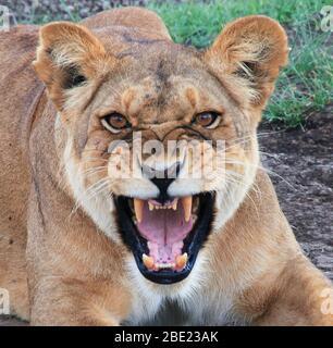 Brüllende afrikanische Löwin. Fotografiert im Serengeti Nationalpark, Tansania Stockfoto