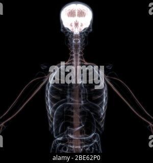Gehirn ist ein Teil der Anatomie des menschlichen Körpers Zentralnervensystem. 3D