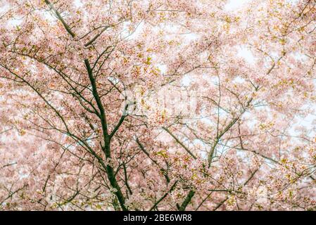 Nahaufnahme Detail-Foto von Kirschblüten (Gattung prunus) Bäume in Blüte im Frühjahr. Kopenhagen, Dänemark - Stockfoto
