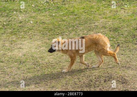 Einsamer rothaariger streunender Hund, der auf einer Frühlingswiese auf der Suche nach etwas Futter läuft - Stockfoto