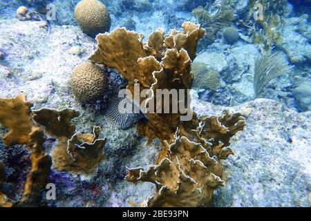 Ein Unterwasserfoto von Korallen. Korallen sind marine Wirbellose innerhalb der Klasse Anthozoa des Stammes Cnidaria. Sie leben in der Regel in kompakten Kolonie Stockfoto