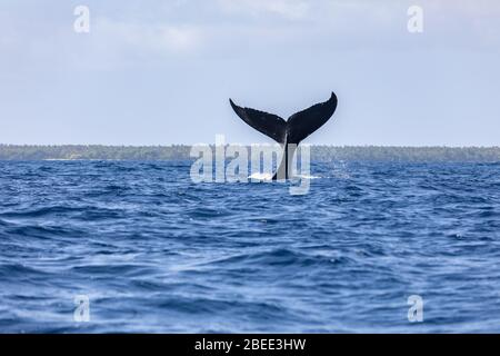 Wal Schwanzflosse über der Oberfläche junge Buckelwale spielen Pazifischen Ozean Welle Splash