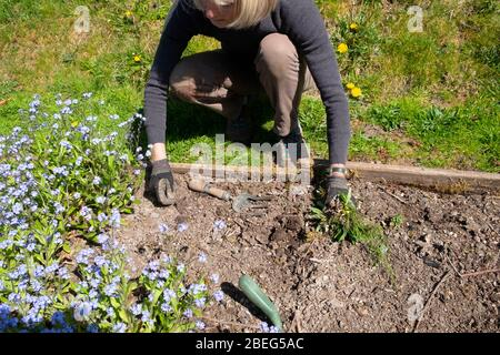 Ältere ältere ältere Frau arbeitet im Garten im Garten Unkrautjäten in einem erhöhten Bett im Frühjahr graben Unkraut zu Pflanzen Blumenpflanzen Samen Wales UK KATHY DEWITT - Stockfoto