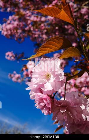 Rosafarbene Blüte auf einem Baum vor einem tiefblauen Himmel in Saltaire, West Yorkshire. VEREINIGTES KÖNIGREICH