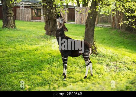 Okapi Giraffe isst Blätter von Baum im Zoo