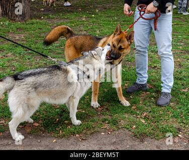 Breslau, Polen - 8. September 2019: Hundeparade Hau sind Sie? Zwei Husky Hunde - schwarz-weiß und rot sind im Park spielen. Hund versuchen, einen anderen Hund beißen - Stockfoto
