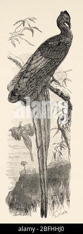 Malaiische Große Argus Pheasant Blue Eye Lange Federn. Royal argos oder Riese argo (Argusianus argus) Arten von Galliform Vogel in der Familie Phasianidae. - Stockfoto