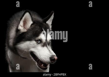 Nahaufnahme Porträt von wütend Hund sibirischen Husky auf isolierten schwarzen Hintergrund - Stockfoto