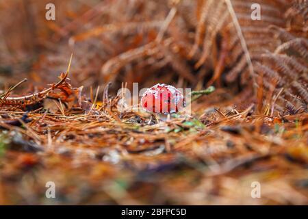 Rot-weiß gefleckte Fliegenpilze Agaric Toadstool Fruchtkörper, Amanita muscaria, wächst unter gefallenen Piniennadeln im Herbst in Wald in Surrey, Großbritannien Stockfoto