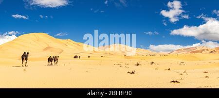 Gruppe von Dromedaren in der wunderschönen Omani Rub al-Chali Wüste