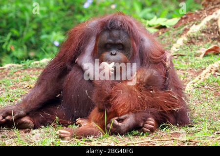 Orang-Utan mit ihrem Säugling, Borneo, Indonesien - Stockfoto
