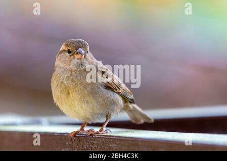 Nahaufnahme Porträt des Sperling Männchen oder Passer domesticus. Passeridae auf dem Ast auf isoliertem Hintergrund.