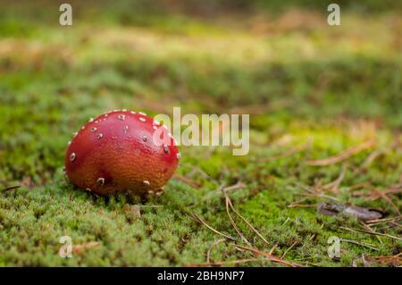 Fliegenpilz, Amanita muscaria, im Moos, Brandenburg, Deutschland - Stockfoto