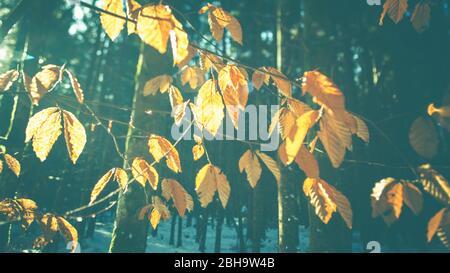 Herbst goldene Blätter und Zweige und Sonne im Winter im Wald - Hintergrundbeleuchtung und Details. Abstrakter Hintergrund. Stockfoto