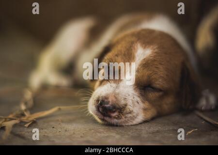 Niedlichen schlafenden Straße Hund Welpen. Kleiner Welpenhund, der auf der Marktstraße in Indien schläft. Home weniger Straße Hund Welpen liegen.
