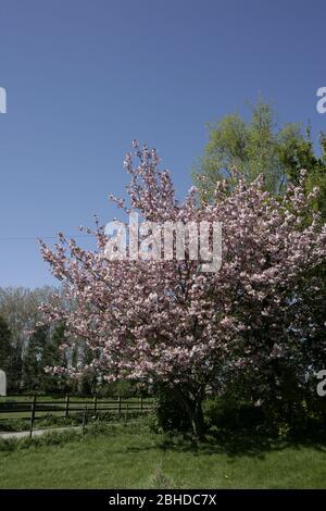 Blühende rosa Kirschblütenbäume vor tiefblauem Himmel im Frühling
