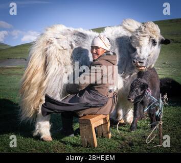 Alte Hirtin, die einen Yak (Bos grunniens) mit jungen Tieren melkt, Nomadenleben, Westmongolei, Bayan-Ulgii Provinz, Mongolei, Asien - Stockfoto