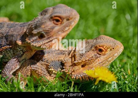 Zwei bärtige Drachen sitzen zusammen auf einer Wiese im Sonnenschein - Stockfoto