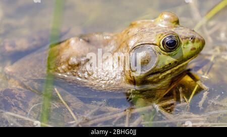 American Bullfrog in Natural Aquatic Habitat - Stockfoto