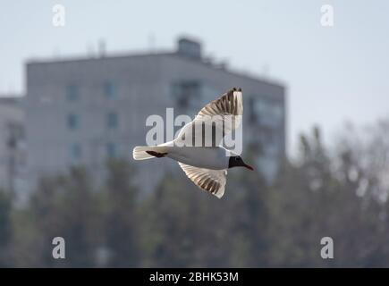Vogel in der Stadt. Möwe gegen ein mehrstöckiges Gebäude. Nebliger Morgen