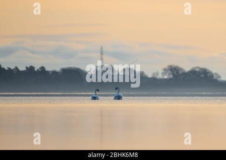Stumme Schwäne (Cygnus olor), die auf einem See mit Strommasten im Hintergrund schwimmen. - Stockfoto